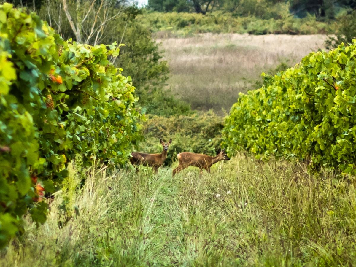 Biches Château Morange Blaye Côtes de Bordeaux Vignobles Routurier